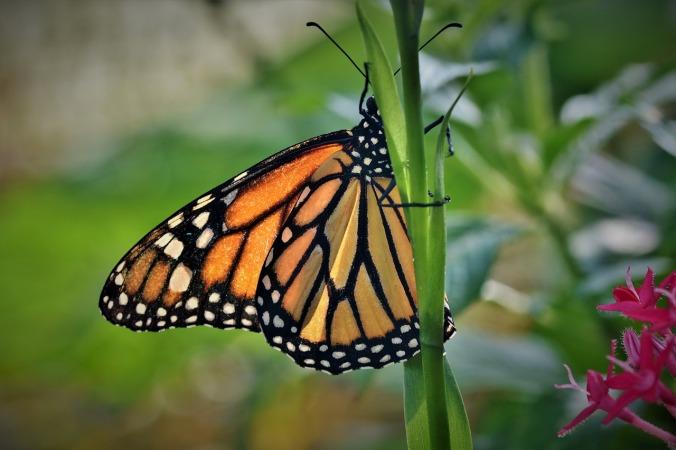butterfly-4072394_1280