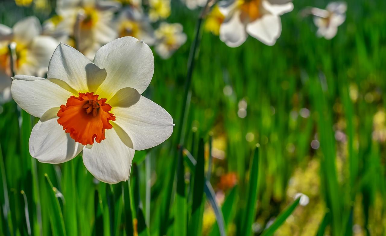 daffodil-4071808_1280